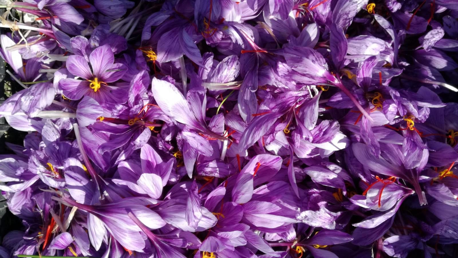 zafferano fiori